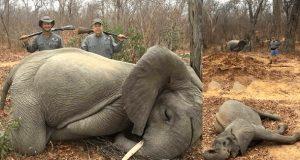 To rike forretningsmenn poserer stolt på bilder etter å ha drept to elefantunger.