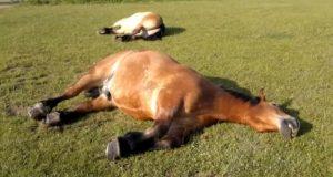 Hestene ligger strak ut på gresset – men når bonden kommer nærmere får han seg en latter.