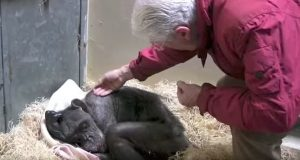 Syk, 59 år gammel sjimpanse gjenkjenner stemmen til sin gamle passer. Reaksjonen er hjerteskjærende vakker.