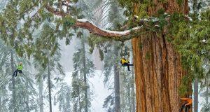 Et av planetens eldste trær er så stort at det aldri har blitt fotografert i ett bilde… Inntil nå.