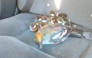 Godhjertet taxisjåfør gir skyss til andefamilie.