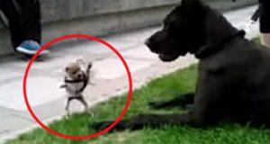 En chihuahua møter en Grand Danois. Hvordan det gikk? Vel… Dette er hysterisk.