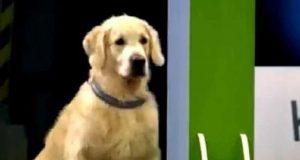 Hunden ser på de andre, flinke hundene i hinderløypa. Når det er hans tur? Oi, sann…