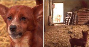 Hunden er trist fordi bestevennen hans, kua, ble solgt. Men her kan du se den fantastiske gjenforeningen.