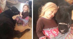 5 år gammel jente smugler kua med seg inn – se det herlige øyeblikket når den sovner i fanget hennes.