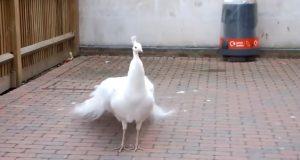 Den uvanlige påfuglen viser frem fjærene sine – se når han snur seg rundt.
