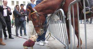 Ingen forventet denne reaksjonen da den lille hunden nærmet seg politihesten.