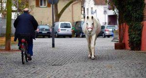 Hver morgen tar denne hesten seg en spasertur på egenhånd, for å hilse på sine menneskevenner.