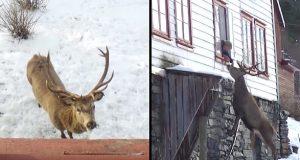 Enke i Aurland fikk en ny venn: Hjorten kommer og besøker henne i fjellheimen hver dag.