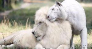 En hvit løve og hvit tiger får barn sammen – her er verdens første hvite liger-babyer.
