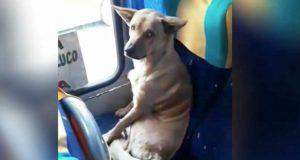 En løshund setter seg i setet på bussen. Sjåføren fortjener ros for reaksjonen sin.