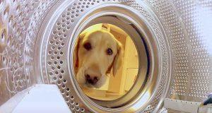 Golden retriever stjeler tilbake teddybjørnen sin fra vaskemaskinen.