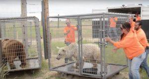 Her kan bjørnene som satt i små bur i 20 år, endelig ta sine første skritt ut i frihet igjen.