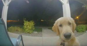 Hund rømmer hjemmefra – ringer på dørklokken for å komme inn igjen.