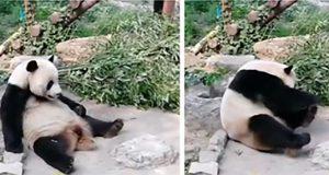 Pandaen sitter og hviler – da bestemmer turistene seg for å kaste stein på henne.