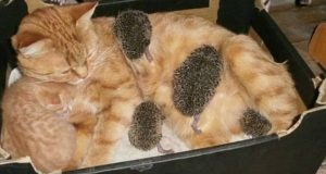 Kattemor adopterer piggete pinnsvinbabyer som hennes egne, og det kunne ikke vært mer bedårende.