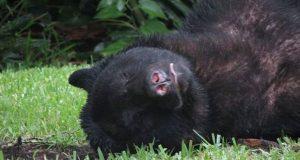 Stor bjørn faller om og sovner på gresset etter å ha forsynt seg av 9kg hundemat.