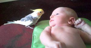 Søt nymfekakadu synger nattasang til 2 uker gammel baby.