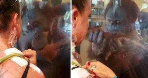 Orangutang overrasker brannskadd kvinne med reaksjonen sin når han ser henne.