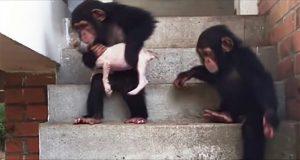 Døende valp blir pleiet tilbake til live ved hjelp av noen kjærlige sjimpanser.