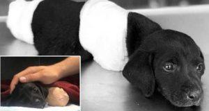 Politiet ser etter person som kappet av beina og halen til valp – etterlot den for å dø.