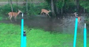 Tre hjort leker sisten (også kjent som «tikken») – i bakgårdsdammen til denne heldige familien.