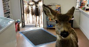 Hjort stikker innom gavebutikken – overrasker eieren når hun senere kommer tilbake med hele familien.