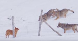 Modig hund unnslipper så vidt en flokk sultne ulver i hårreisende video.