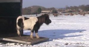 En flokk Shetland-ponnier reddet etter at eieren deres hadde kvittet seg med dem