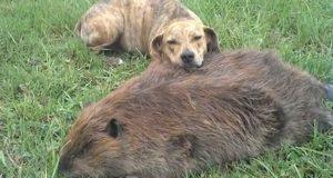 Denne triste hunden mistet bestevennen sin. Her sørger han over beverens bortgang.