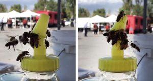 Bier samarbeider for å åpne beholder med stjålet honning. Dette kaller vi teamwork.