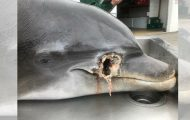 Død delfin funnet knivstukket og skutt på en strand – politiet ber om hjelp.