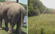 Elefanten ventet i ukesvis på sin kompis, men se hvem som smyger seg frem rundt hjørnet.