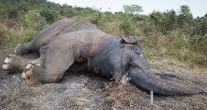 Forbudet hevet: Nå får troféjegere atter en gang lov å drepe elefanter i Botswana.