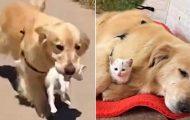Denne søte golden retrieveren reddet en kattunge fra gaten og behandler den som sin egen.