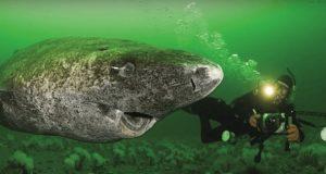 Forskere oppdager 512 år gammel hai – som gjør den til det eldste virveldyret på planeten.