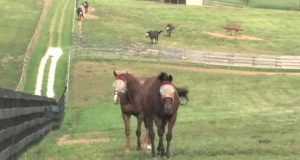 Tidligere veddeløpshester reddet fra slakterhuset av spesial-pensjonisthjem for dyr.