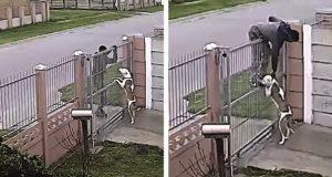 Kamera fanger at en mann prøver å stjele pitbull. 1 sekund senere angrer tyven bittert.