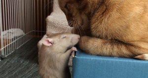 Denne rotten og kattens uslåelige vennskap har du aldri sett maken til. Så bedårende.