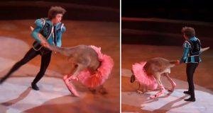 Sirkuskenguru blir tvunget i ballerinakjole og svinges via halen – faller ikke i god jord på internett.