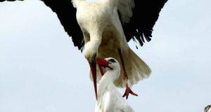 Hvert eneste år flyr denne storken tusenvis av mil for å returnere til sin ene store kjærlighet.