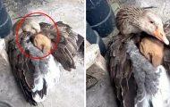 Gås redder løsvalp fra iskaldt vær ved å ta han under vingene og varme ham.