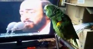 Papegøyen hører Pavarotti på TV – sekunder senere brøler hele familien av latter!
