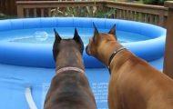 Disse morsomme boxer-hundene blir «skremt» av en «inntrenger» i bassenget.