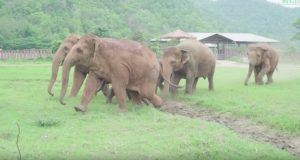Elefanter løper for å hilse på den nyankomne babyelefanten på tilfluktstedet deres.