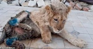 Løveungens labber blir brukket med vilje – for at turister kan få ta selfier med ham.