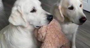 På bedårende vis bytter disse hundene på å holde leken mens de får godbiter.