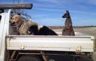Reddet kenguru tror han er en hund