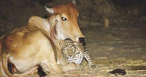 Den sanne historien bak disse leopard -og kubildene gir fortsatt ikke mening.