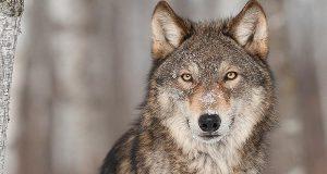 «Jeg fant 70 bilder av ulver ved å google 'ulver' – så jeg lagde dette.»